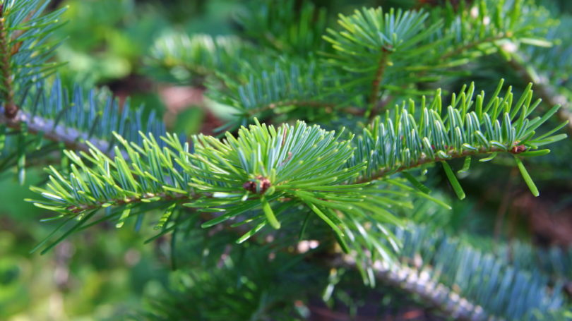 Chinese Fir Tree Extracts Likely To Help Fight Cancer
