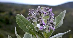 Scientists Likely To Discover Alzheimer's Treatment In Holy Herb
